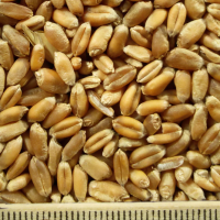 ce-wheat2
