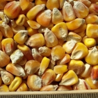 ce-corn-yellow